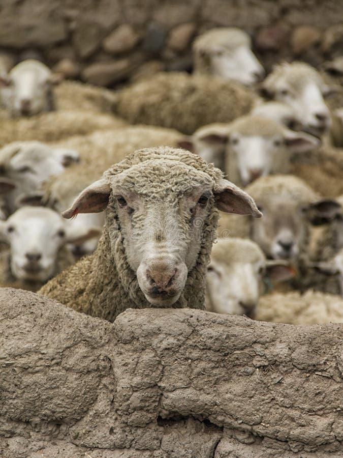 Moutons observant au-dessus du mur d'adobe image stock
