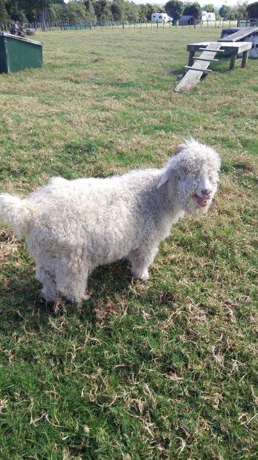 moutons ou ch?vre ou m?me chien photo libre de droits