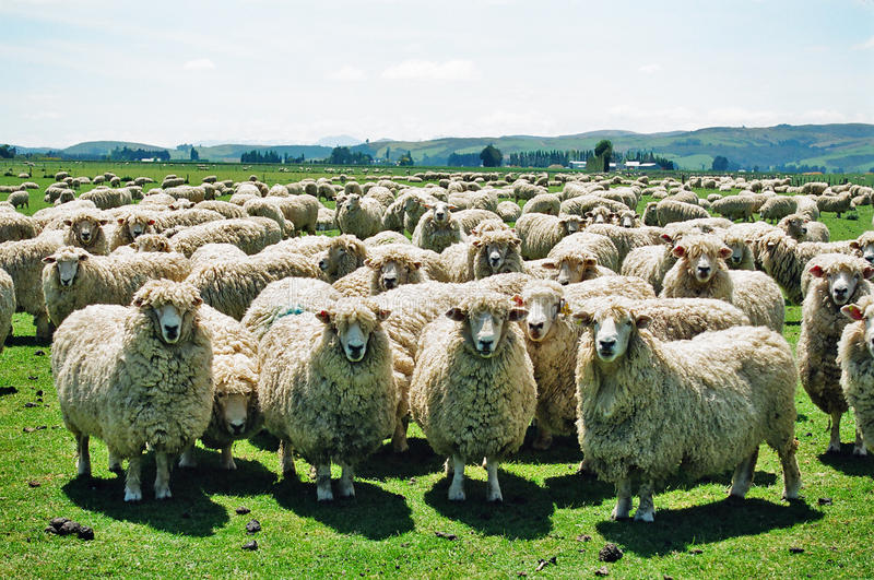 Moutons pelucheux