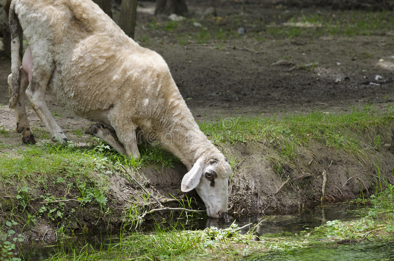 Download Moutons Pendant L'après-midi D'été Image stock - Image du rural, campagne: 56481907