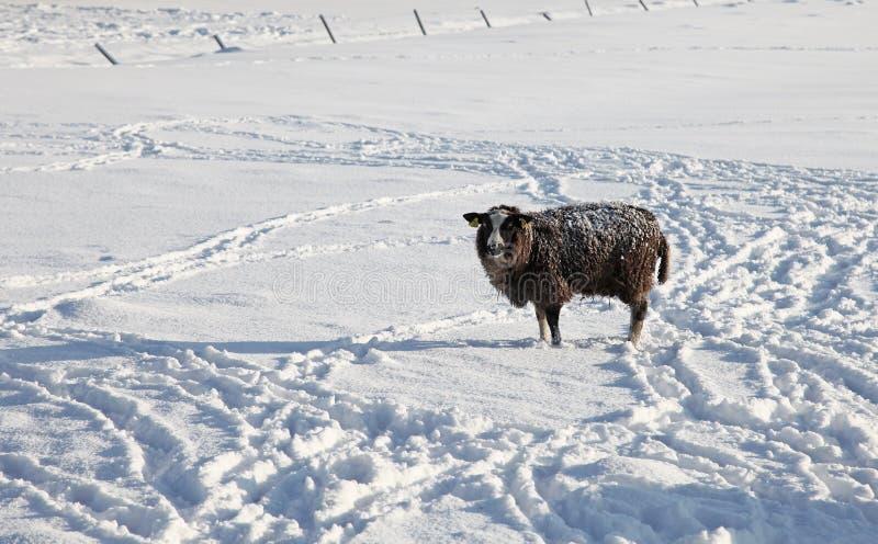 Moutons perdus photo libre de droits