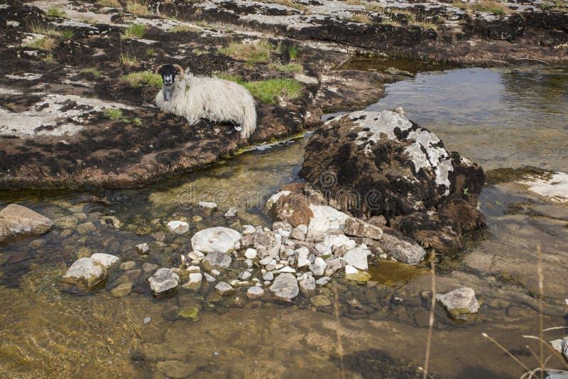 Moutons près du wharfe de rivière dans Yorkshire, Angleterre images stock