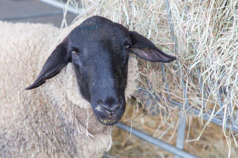 Moutons principaux noirs mignons dans le troupeau regardant l'appareil-photo image stock