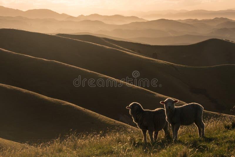 Moutons rétro-éclairés frôlant sur des collines de Wither image libre de droits