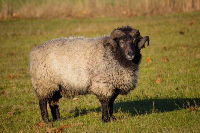 Moutons Ram Standin dans le domaine image libre de droits