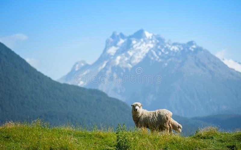 Moutons regardant à l'appareil-photo photo libre de droits