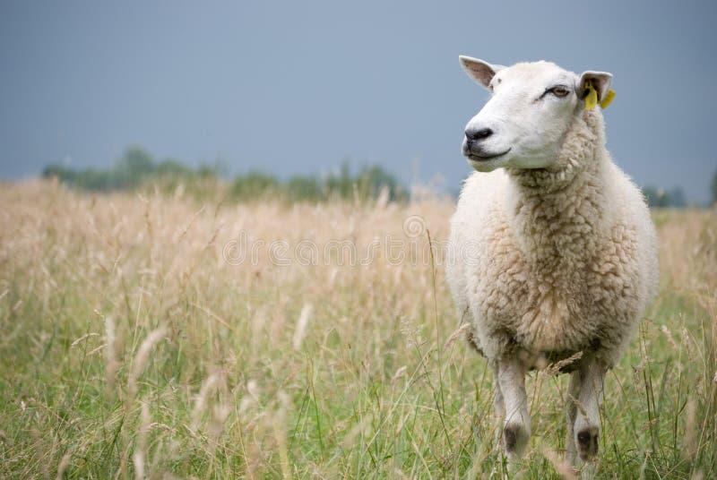 Moutons regardant de côté photos stock