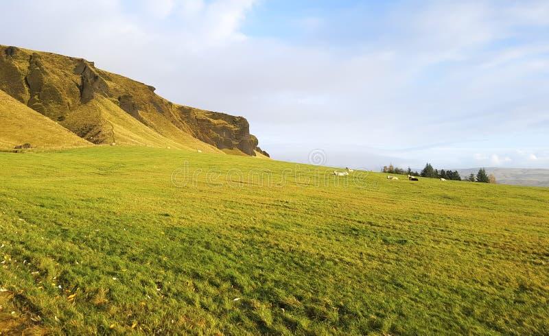 Moutons regardant fixement dans le pré ensoleillé photographie stock libre de droits
