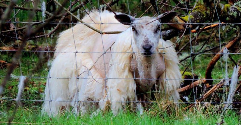 Moutons sans laine image stock