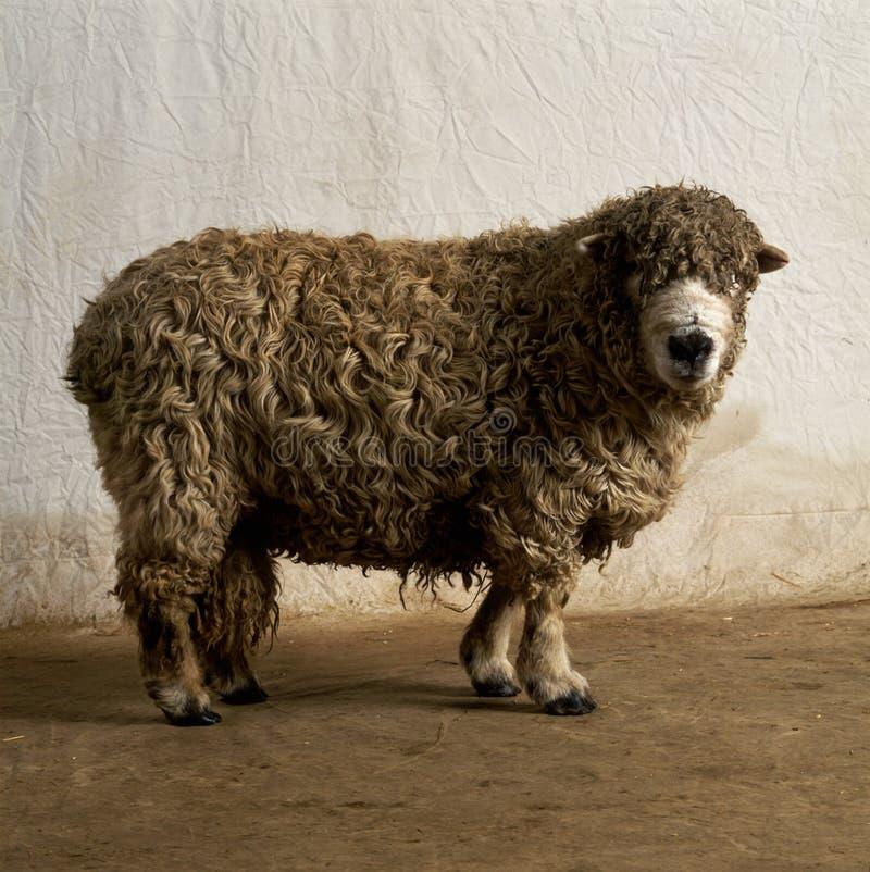 Moutons sans partie de la laine photo libre de droits