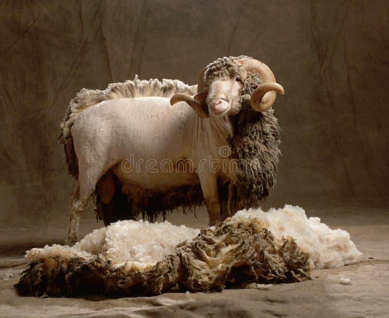 Moutons sans partie de la laine image libre de droits