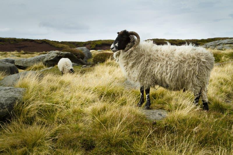 Moutons sauvages sur un scout plus aimable photos libres de droits