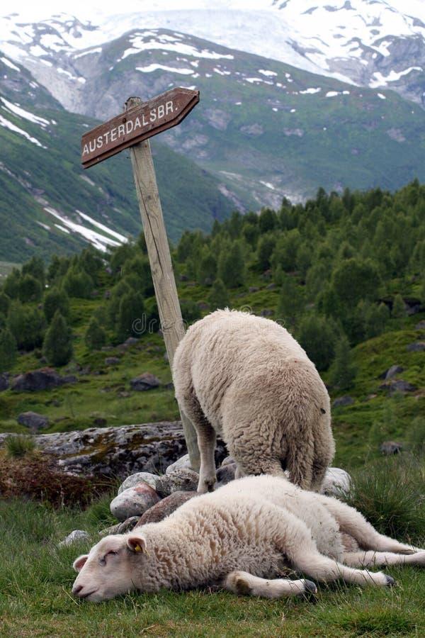 Moutons se reposant près du glacier photo stock