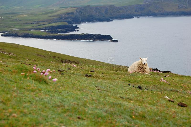 Moutons se situant dans l'herbe - Irlande photo stock