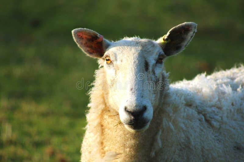 Moutons se tenant dans le domaine d'herbe photo stock
