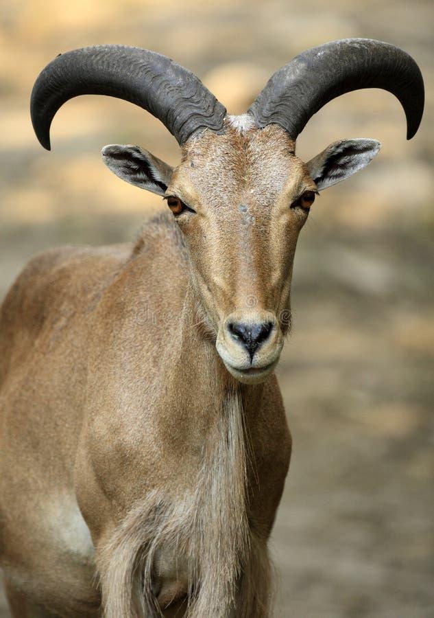 Moutons simples d'Arui Barbarie dans le jardin zoologique image stock