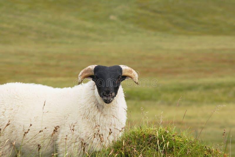 Moutons simples de point noir photos libres de droits