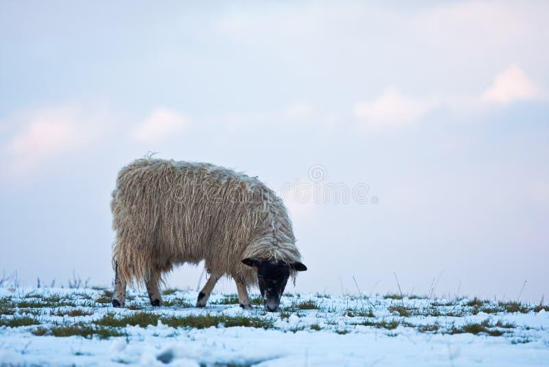 Moutons simples frôlant sur un flanc de coteau neigeux images stock