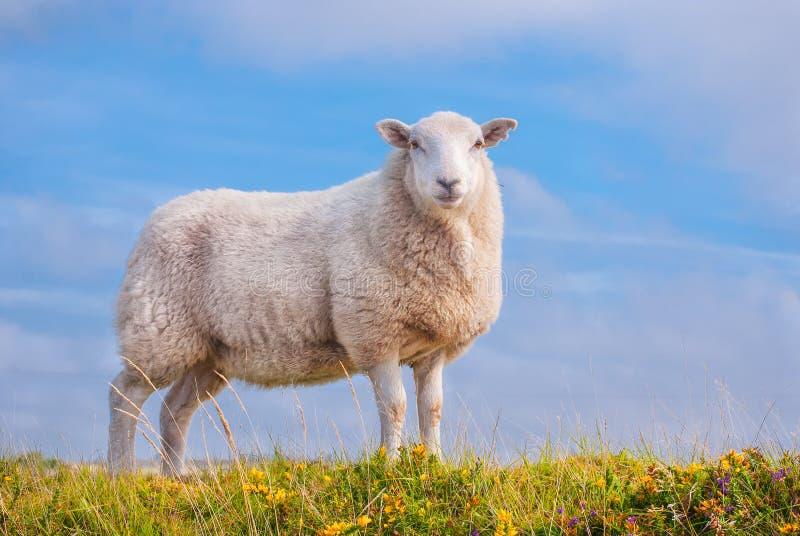 Moutons solitaires contre le ciel bleu photos libres de droits