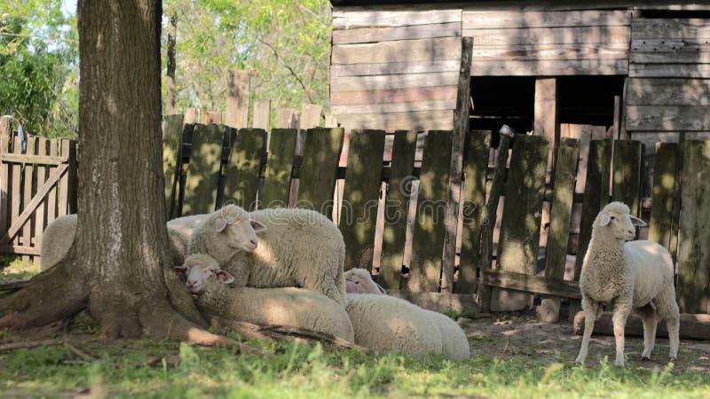 Moutons sous la cime d'arbre, à la nuance photographie stock
