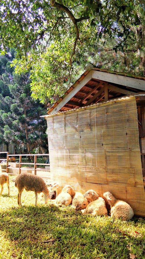 Moutons sous le soleil de matin photographie stock libre de droits