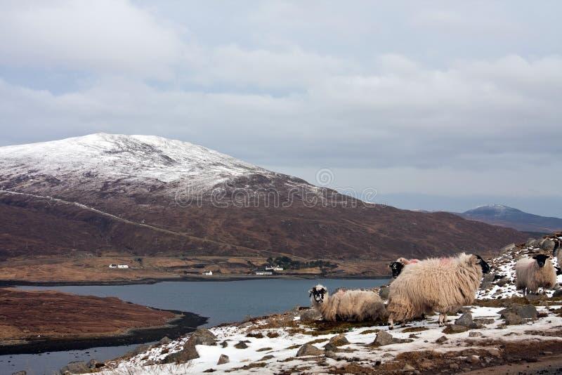 Moutons sur l'île de Harris photographie stock