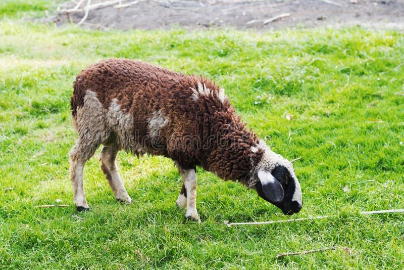 Moutons sur l'herbe verte images libres de droits