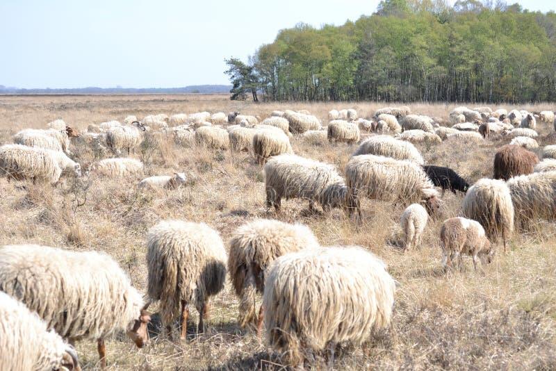 Moutons sur la bruyère photo stock