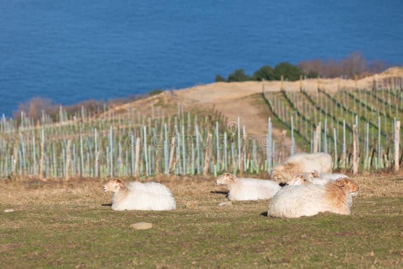 Moutons sur la côte verte photos stock