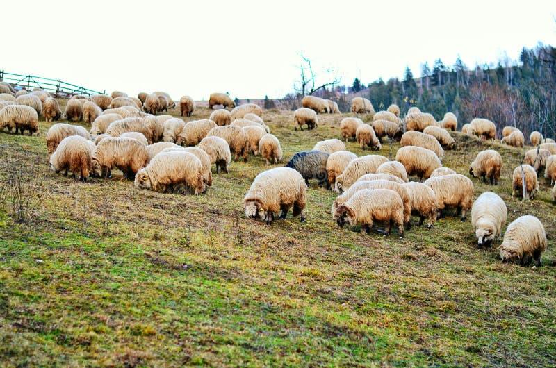 Moutons sur la colline photographie stock