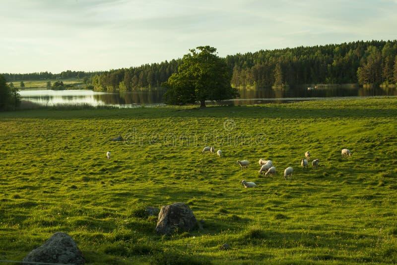 Moutons sur le champ en Suède images stock