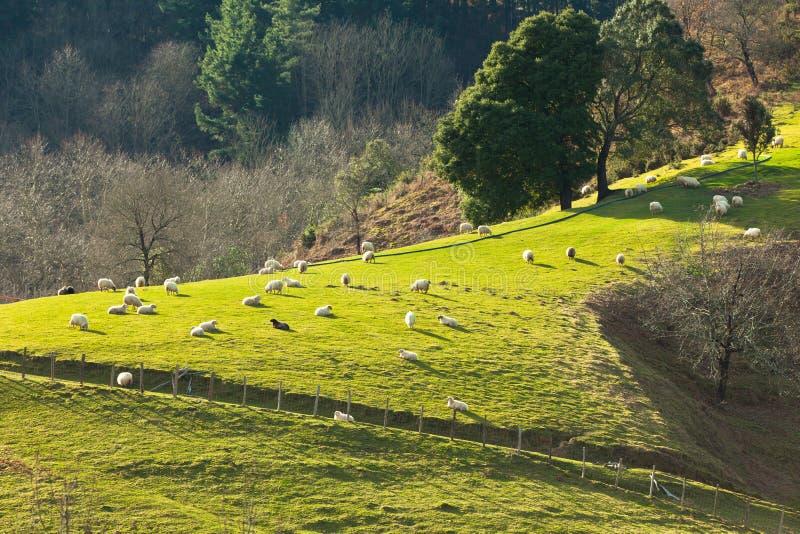 Moutons sur le flanc de coteau image stock