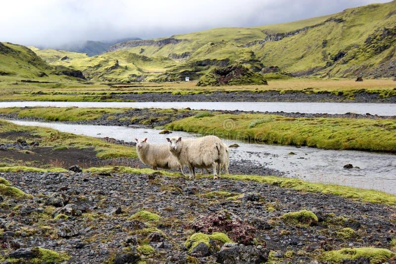 Moutons sur le gisement de lave, Eldgja, Islande photos stock