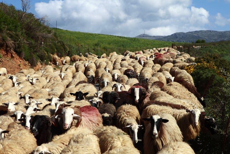 Moutons sur le mouvement images libres de droits