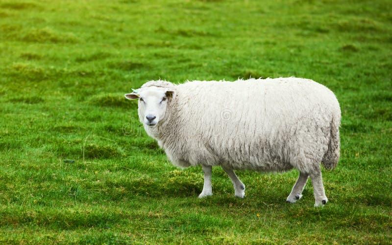 Moutons sur le pâturage photo libre de droits