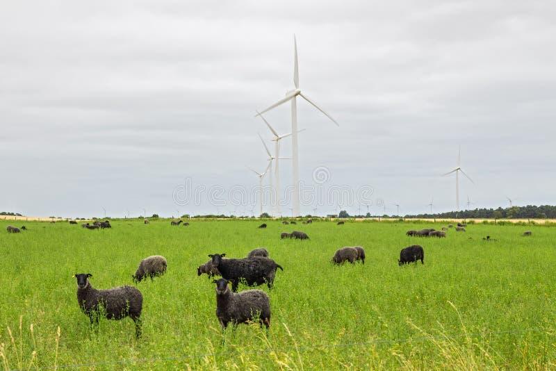 Moutons sur le pâturage vert, avec des turbines de vent dans une distance images libres de droits