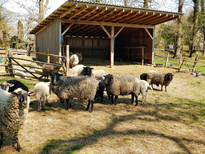Moutons sur le p?turage photos libres de droits