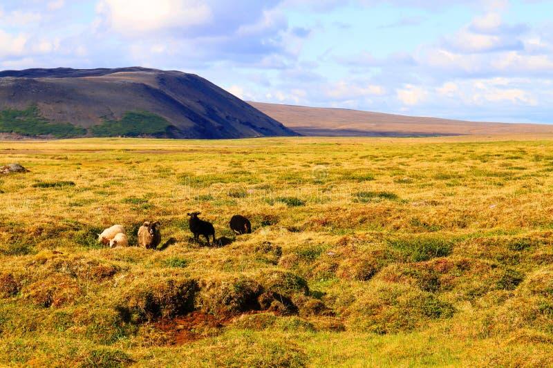 Moutons sur le p?turage pr?s de la hutte de Hvitarnes, Islande photographie stock