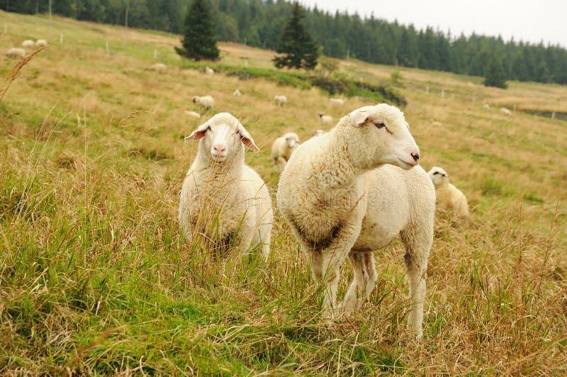 Moutons sur le pré de montagne photos libres de droits