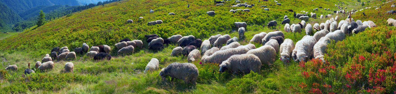 Moutons sur un pâturage de montagne photo stock