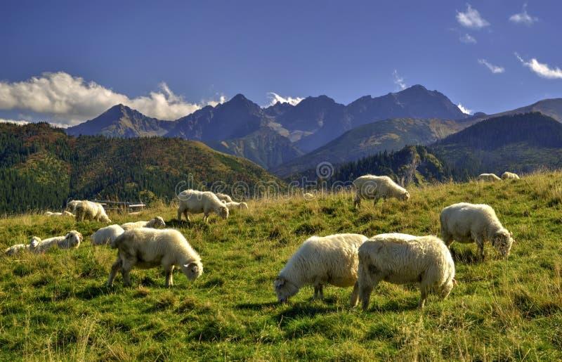Moutons sur un pré photographie stock