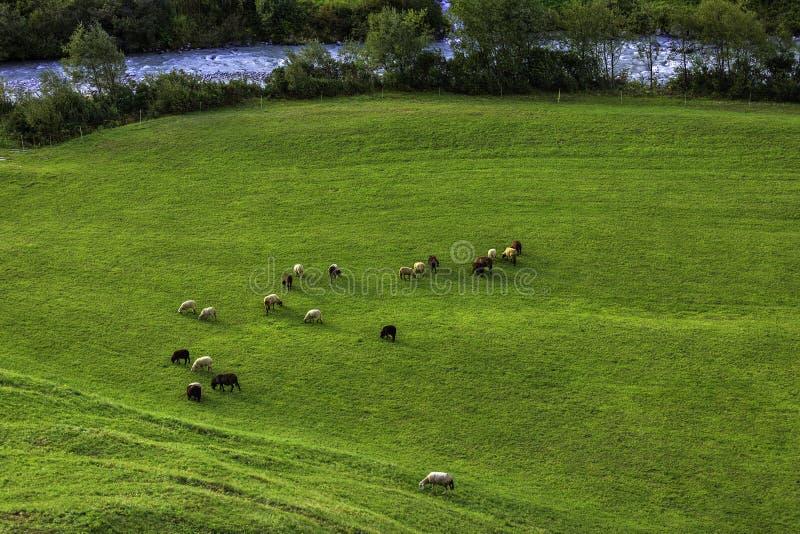 Moutons sur un pré dans les Alpes photos stock