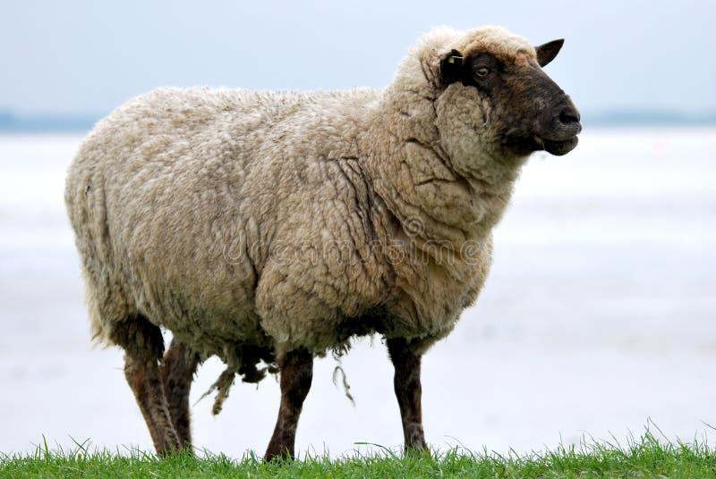 Moutons sur une digue photos libres de droits