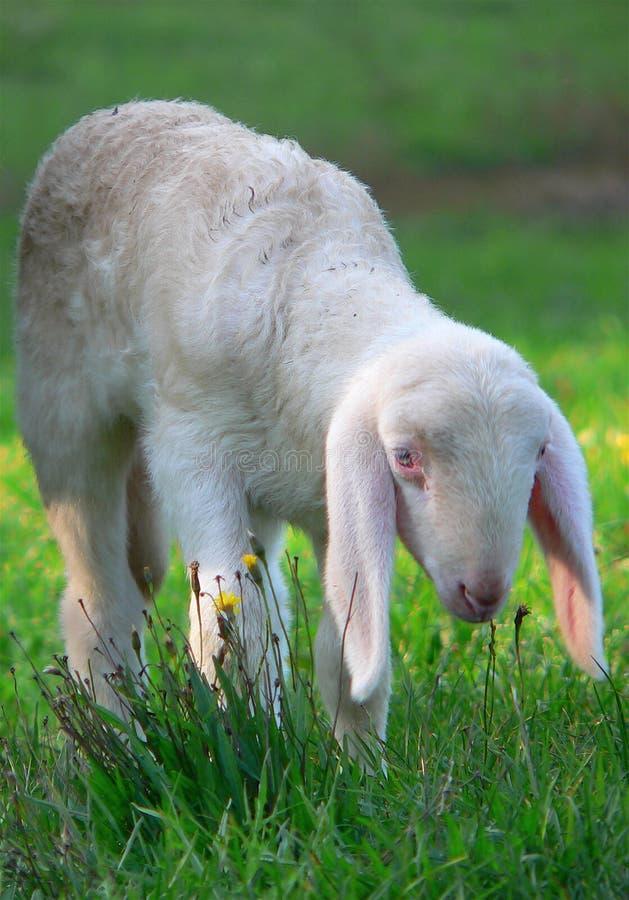 Moutons sur une pelouse photos stock