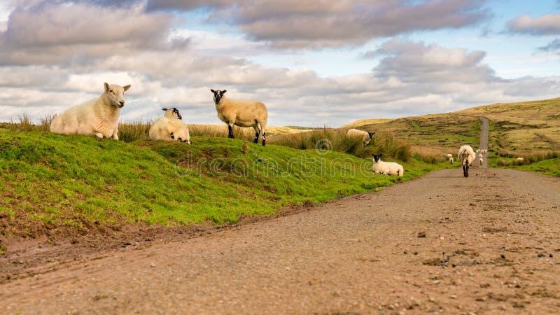 Moutons sur une route de campagne au Pays de Galles, R-U images stock