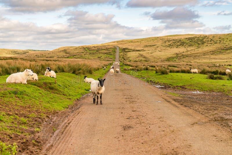 Moutons sur une route de campagne au Pays de Galles, R-U photographie stock libre de droits