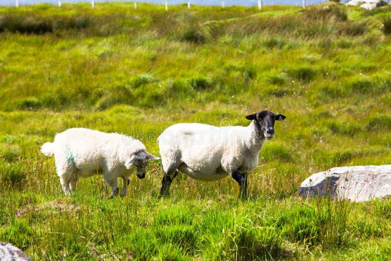 Moutons tondus à tête noire avec son agneau photographie stock