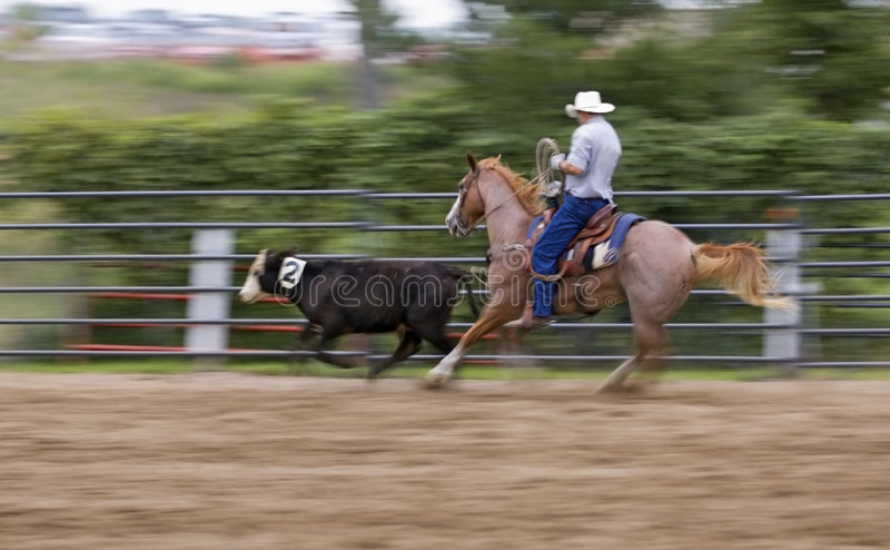 Move that Cow Panning and Motion Blur. Cowboy at rodeo cuts calf out of herd - panning and motion blur stock images