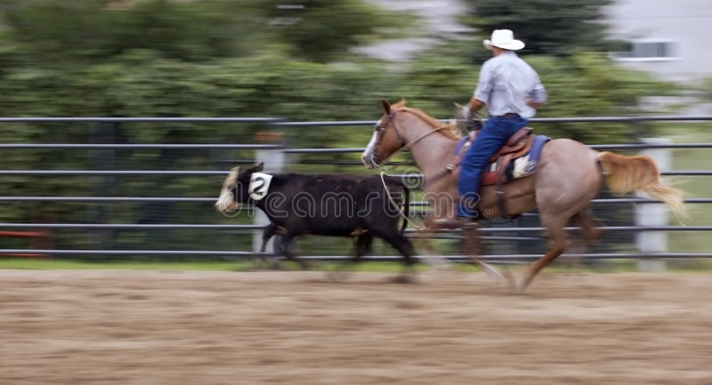 Move it Cow Panning and Motion Blur. Cowboy at rodeo cuts calf out of herd - panning and motion blur stock images