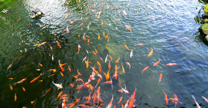 Movement group of colorful koi fish in clear water. royalty free stock image